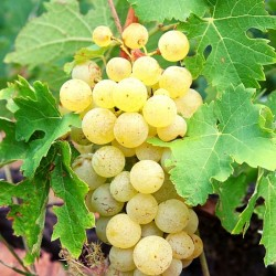 Portuguese White Grape Varieties