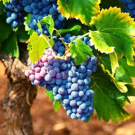 Portuguese Red Grapes