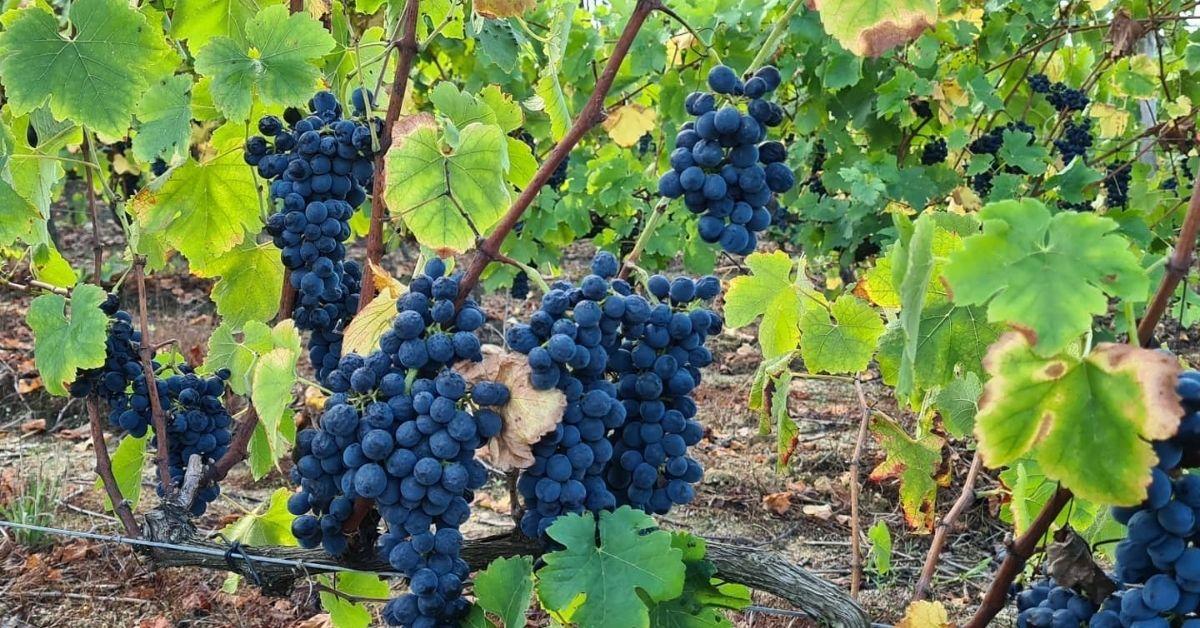 Adega Rama Wines